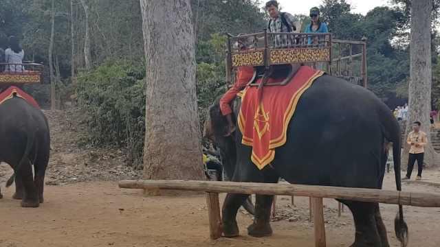 大象年事已高,吴哥窟明年起禁骑