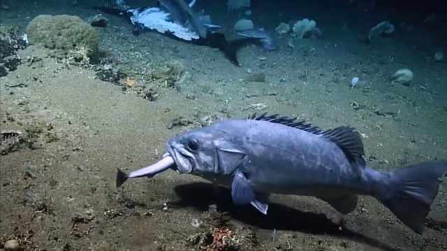 罕见!鲨鱼吃掉剑鱼后被石斑鱼吞掉