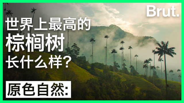 世界上最高的棕榈树长什么样?