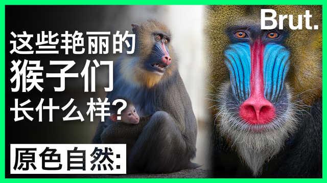 这些艳丽的猴子们长什么样?