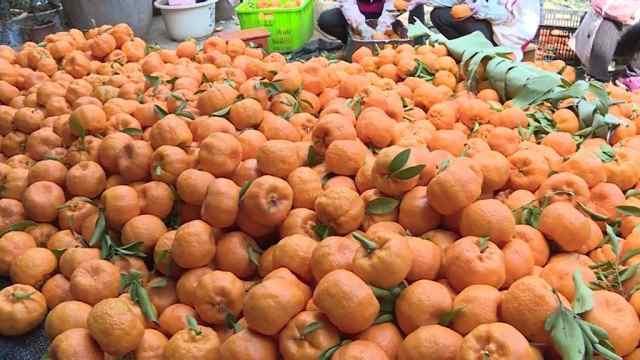 味甜色亮的冬季柑橘,成村民致富果