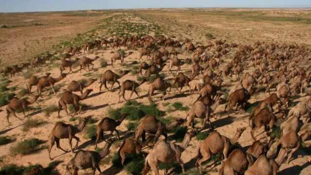 南澳大利亚州宣布已射杀5000头骆驼