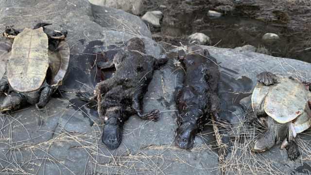干旱加山火!澳州鸭嘴兽恐面临灭绝