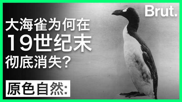 大海雀为何在19世纪末灭绝?