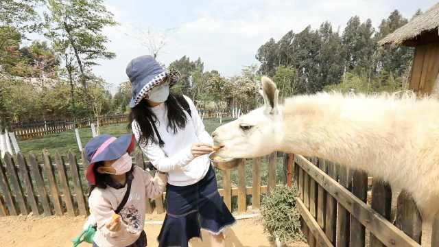 探访动物园开放首日:人和动物都很激动,羊驼追着游客讨食