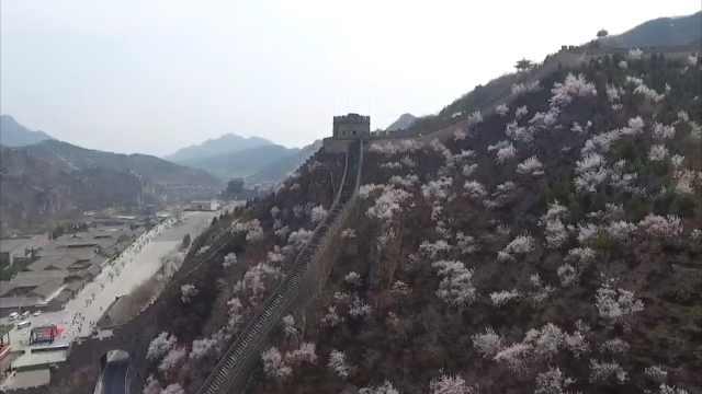 隔着屏幕感受春天!航拍北京居庸关花海绽放,紧邻簇拥长城