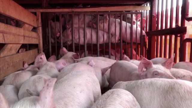 浏阳捐800头仔猪,助力桑植脱贫攻坚:总价值近200万