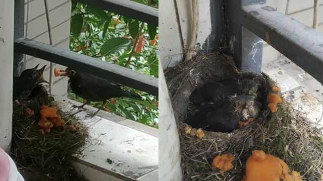 研究生4个月后返校,乌鸫夫妻已在宿舍筑巢养大了娃