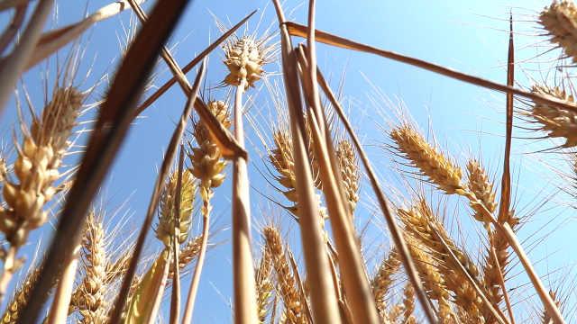 麦乡种出天下第一麦:剥开壳可以直接吃,茅台都来抢粮