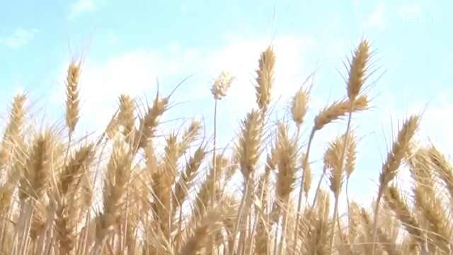 【新疆奇台县】用好技术种好粮食,做新型职业农民