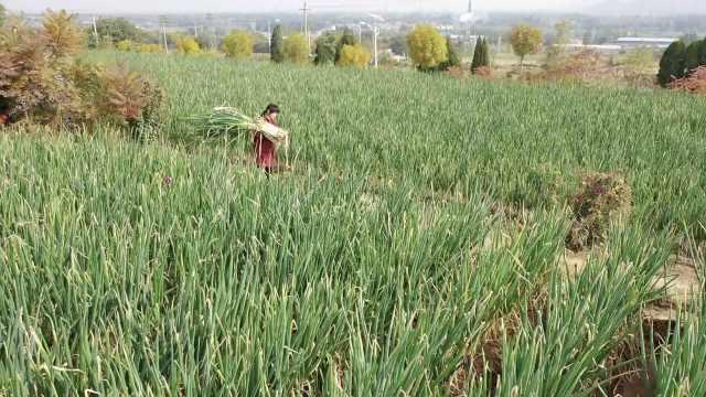 章丘大葱状元村年产千万斤出15次葱状元,一棵大葱比人高