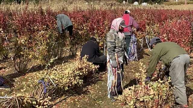 如何给蓝莓过冬?整树捆绑压弯盖塑料布,能抵御零下20度低温