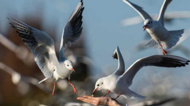 昆明观鸥季来啦!一起欣赏独特的海鸥家族风景线