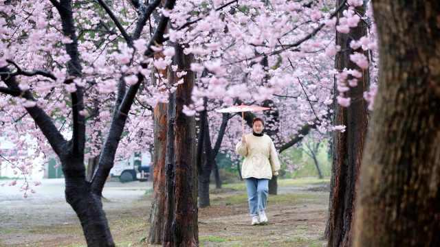 太湖鼋头渚早樱盛开,三万多株樱花树将依次轮番开放