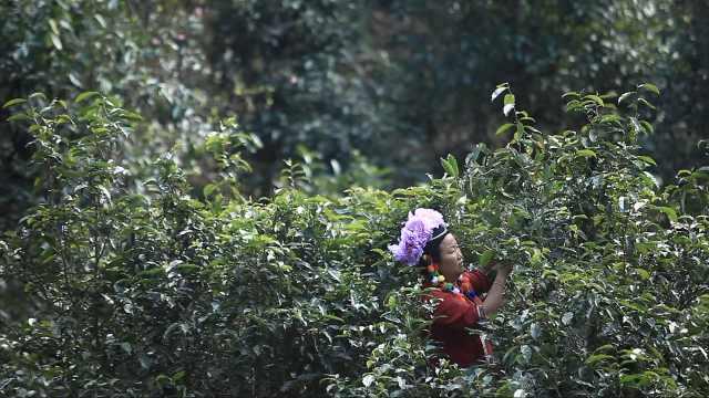与茶共生千年!布朗山有16万1斤的茶,是世界最早喝茶的民族