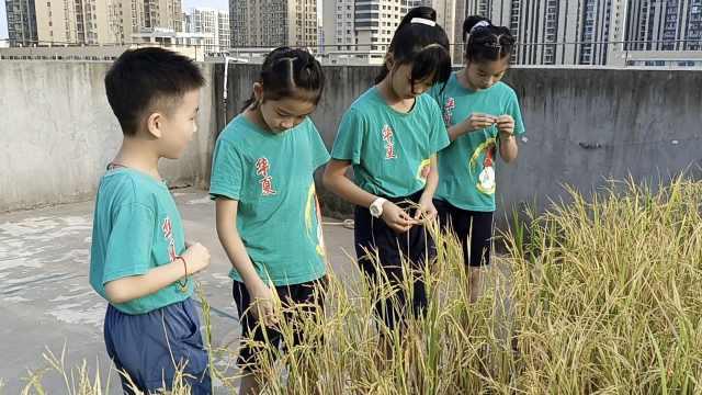 开学季 小学生学校屋顶种杂交稻迎来收获:体会粮食来之不易