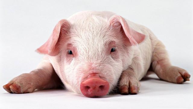 你能想象将猪的眼睛移植给人类吗?