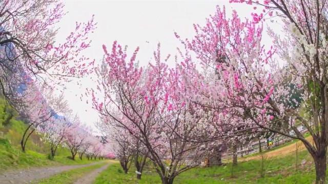 你知道世界上最大的桃花地在哪吗?