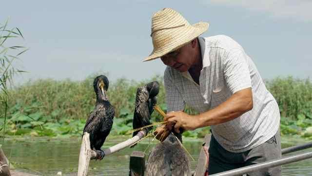 最古老捕鱼方式,雄起白洋淀养鹰人