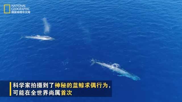蓝鲸求偶行为曝光,雄鲸追逐雌鲸!