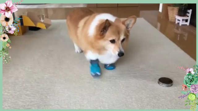 柯基穿上鞋子后走路都是piapia的~