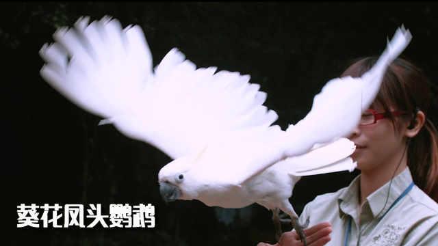 葵花凤头鹦鹉:冠羽竖立像盛开葵花