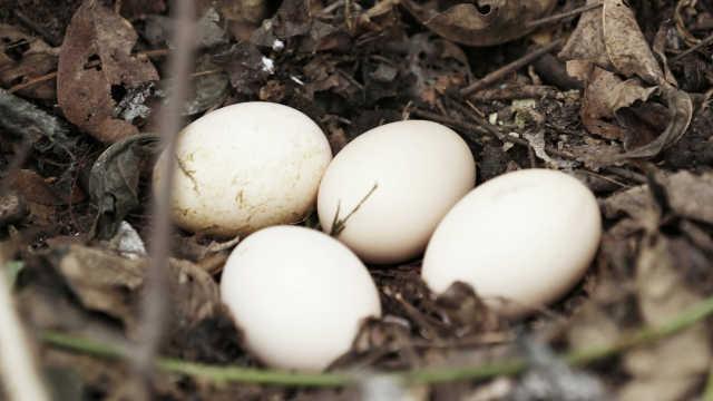 这些人长期吃土鸡蛋有损身体健康?
