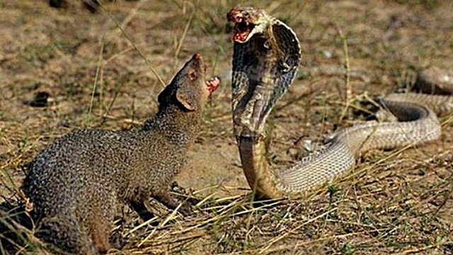 眼镜王蛇到底害怕哪些动物呢?