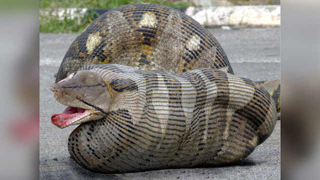 为什么蛇能一口吞下大象?