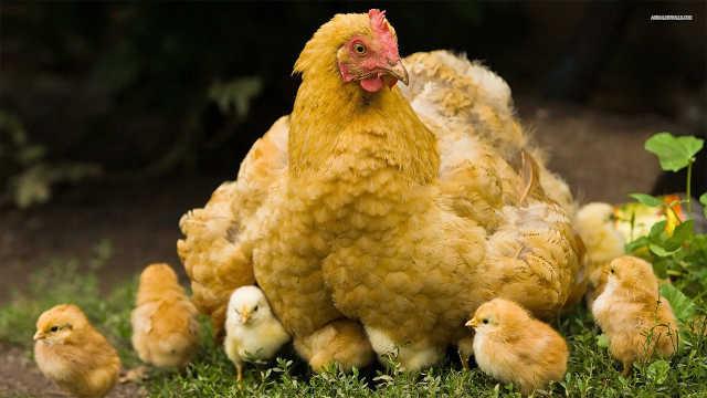老鹰捉小鸡,母鸡是怎么保护小鸡?