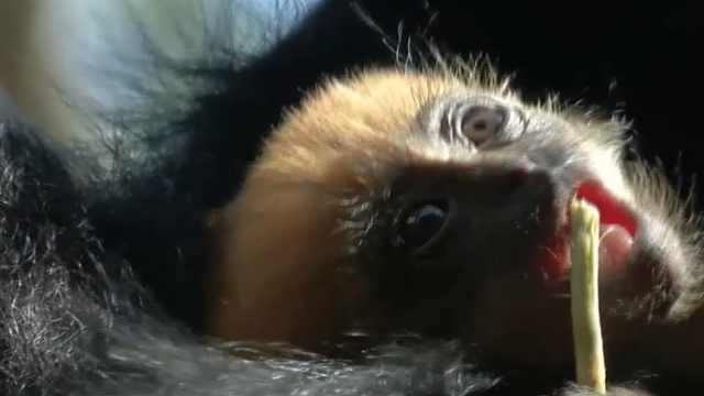 一只变异的猴子在英国出生