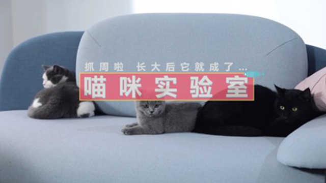 喵咪实验室:如果让猫咪去抓周……
