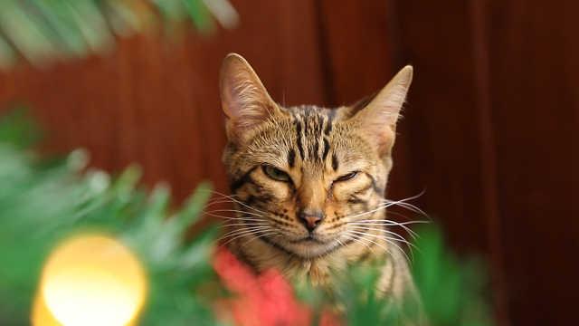 圣诞节惨案,家里有猫的都该警惕!