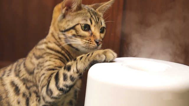 豹猫大战加湿器!加湿器做错了什么