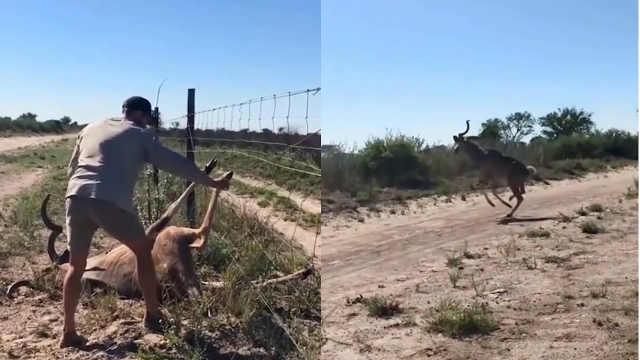 羚羊被卡铁丝网,他冒被踢风险施救