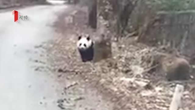 """游客偶遇可爱大熊猫""""横穿马路"""""""