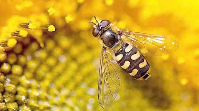 为什么蜜蜂会采干辣椒面?