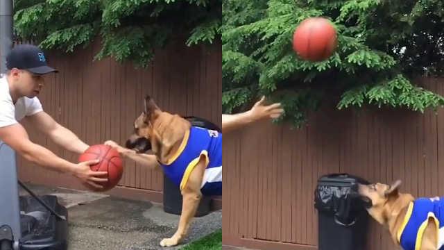 天才狗狗是投篮高手,能用头投篮