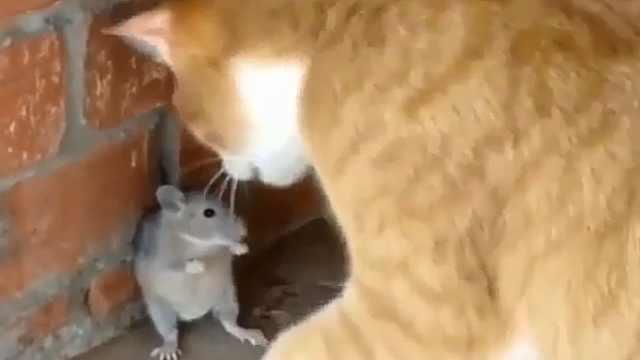 现实版猫和老鼠,遇到老鼠秒怂的猫