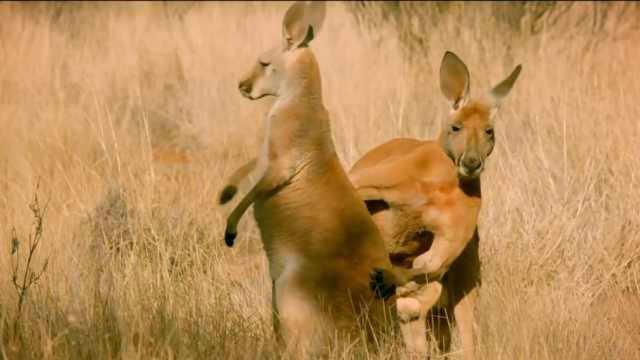 澳大利亚的动物到底有多傻?
