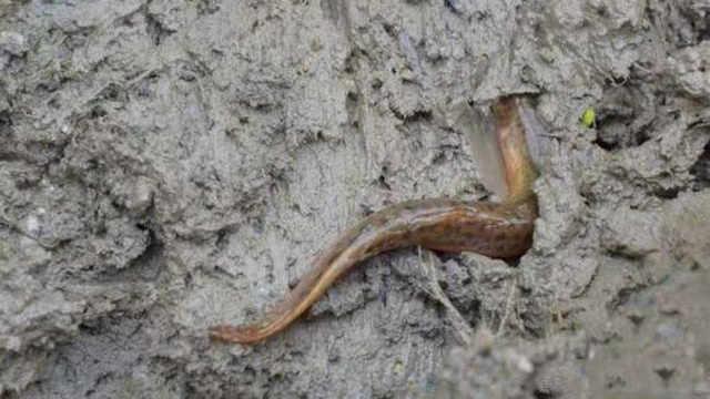 农村水田里的泥鳅都是从哪里来的?