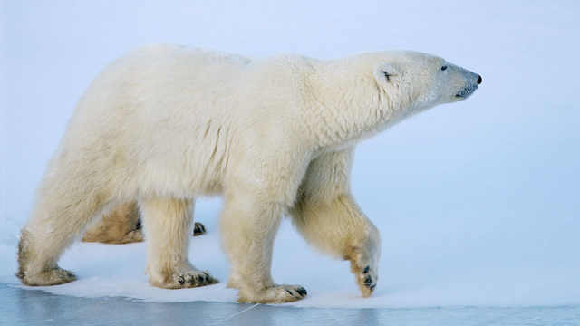 全球变暖,北极熊将无家可归?