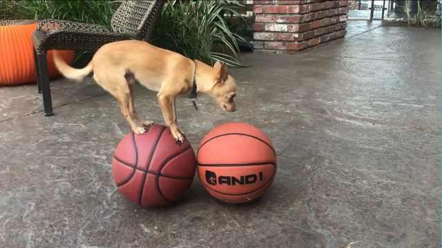 杂技小狗平衡超棒,专为NBA表演!