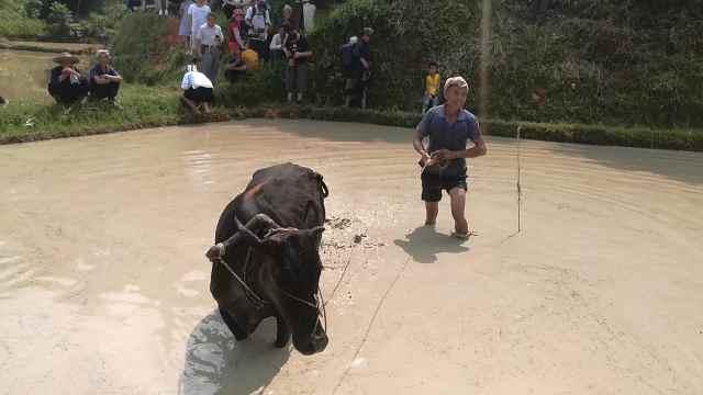 侗寨举办耕牛耙田比赛,村民成泥人