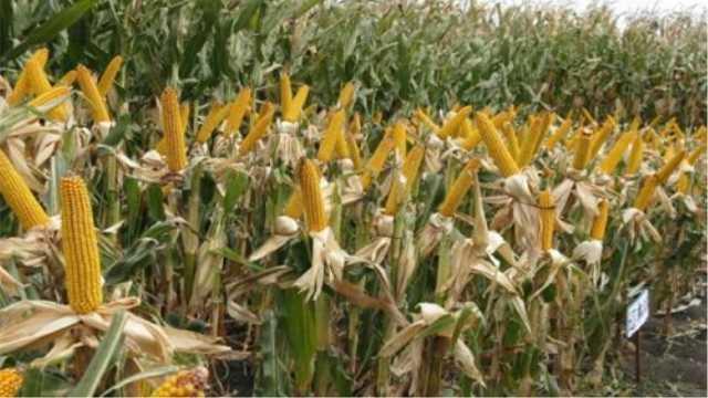 为什么贵州农村种玉米的人少了?