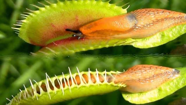 夏天蚊子到来,食肉植物了解一下