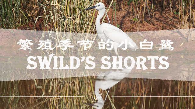 【秒拍大自然·26期】小白鹭繁殖忙
