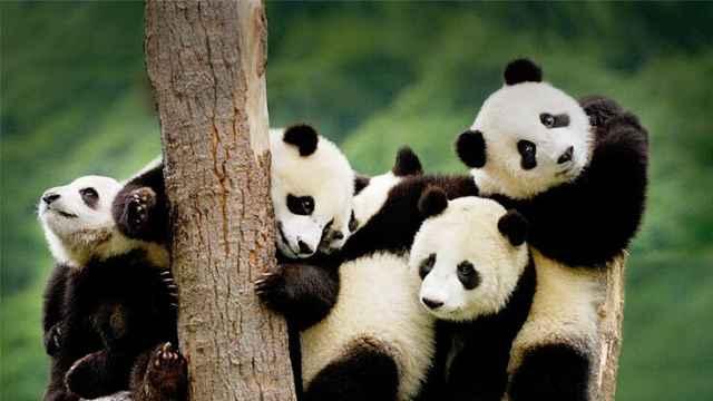 地震十年,雅安的大熊猫们怎么样了