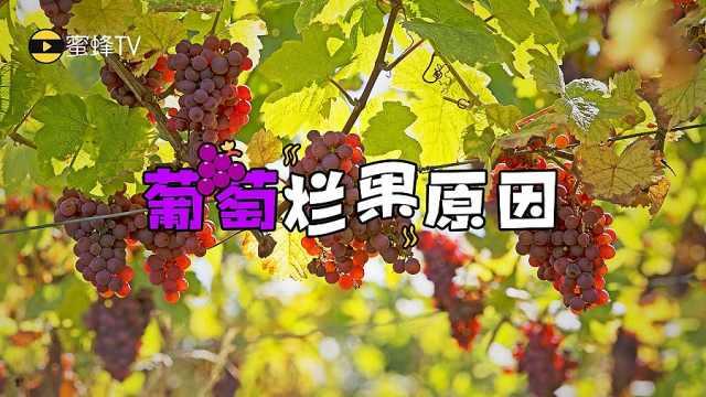 葡萄爛果的原因
