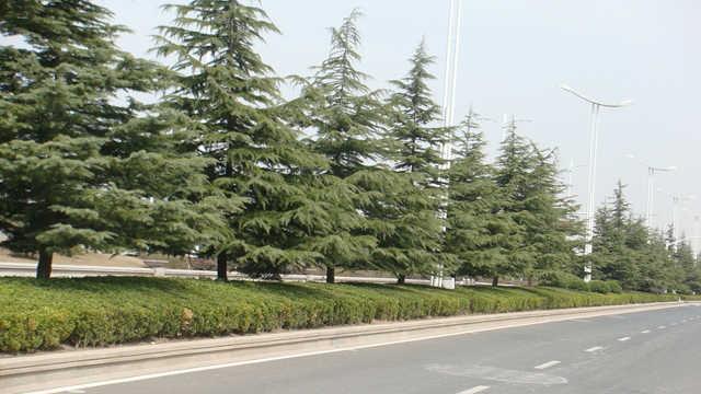 为什么有的松树没有松子?